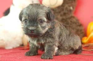 Havanese puppies for sale in Massachusetts