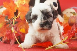 Havanese puppies for sale in PA