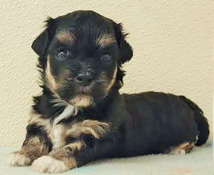ZURI! Morpsy and Cosmos little black and Tan girl. So stunning!  8 lbs!