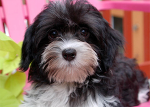 Havanese Puppies | Royal Flush Havanese