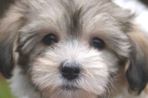 Havanese Puppies For Sale In Vermont Royal Flush Havanese