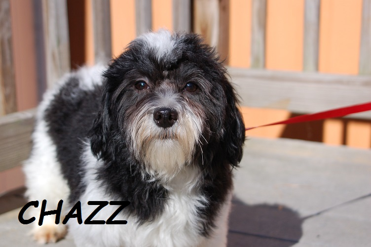 CHAZZ! Great producer, always SUPER pups! 13 lbs. Much more handsome than his pic!