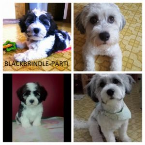 EXAMPLES OF ROYAL FLUSH HAVANESE WITH DRASTIC COLOR CHANGES:
