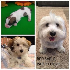 Remember At Royal Flush Havanese We Are ALWAYS Here To Help You! Let Us  Know If You Are Interested In A Specific Colored Pup Or If You Already Have  A Pup ...