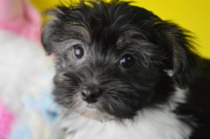 Havanese puppy for sale with health guarantee