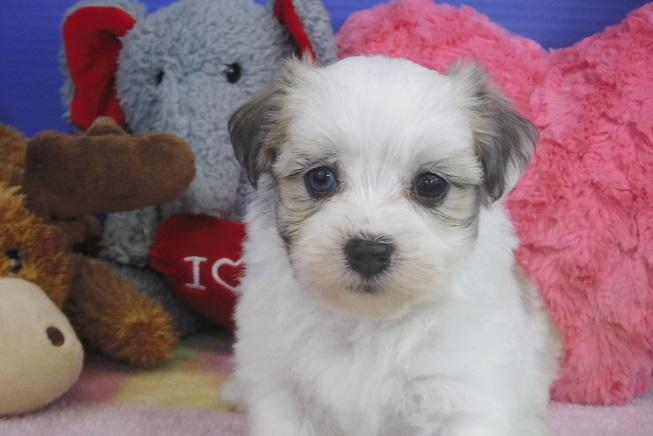 Havanese Puppies For Sale Fl Royal Flush Havanese