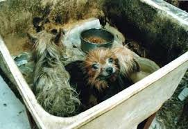 Puppy Mill Education   Royal Flush Havanese