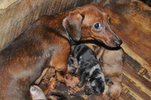 Puppy Mill Education | Royal Flush Havanese