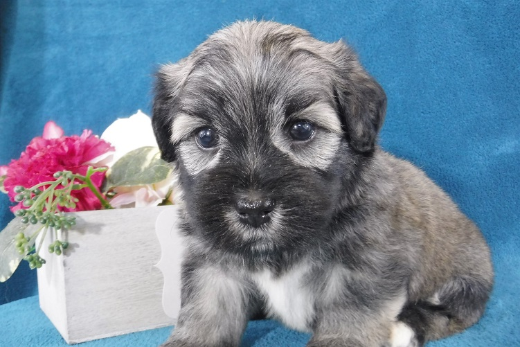 Havanese Puppies for Sale - FL | Royal Flush Havanese
