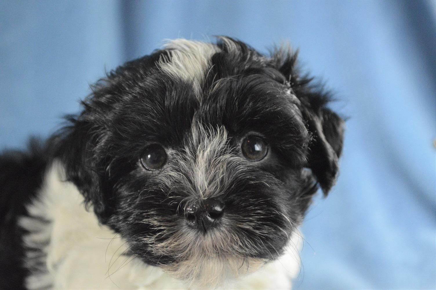 Havanese Puppies for Sale | Royal Flush Havanese