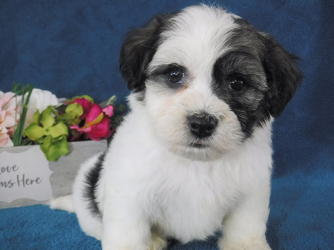 Havanese Puppies for Sale - FL   Royal Flush Havanese
