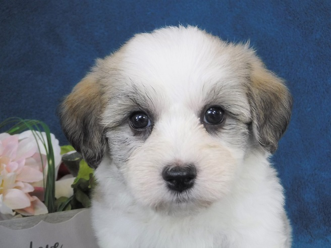 Havanese Puppies for Sale - FL | Royal Flush Havanese